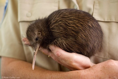 And of course, the little brown kiwi.  This here is a picture of a Kiwi holding a kiwi.  From http://www.head-fi.org/t/563812/random-discussion-thread/270