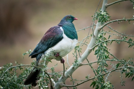 Kereru.  From http://worldsenz.blogspot.co.nz/2012/04/kereru-new-zealand-pigeon-akaroa.html
